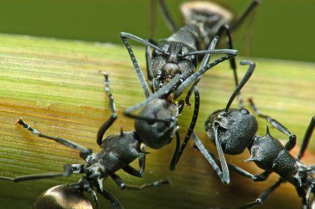 black ants in the gardens