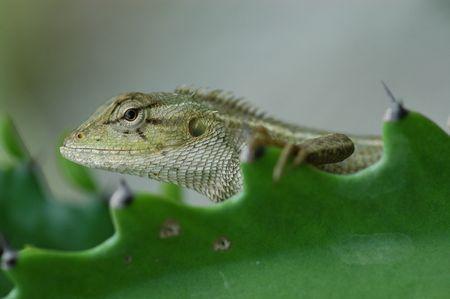 lizard in field: lagarto en los jardines Foto de archivo
