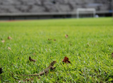 lizard in field: lagartija en el estadio