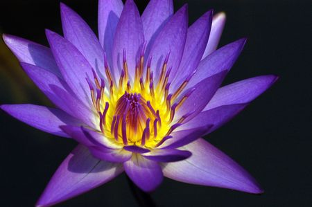 purple water lily in the pond                                 Stock Photo