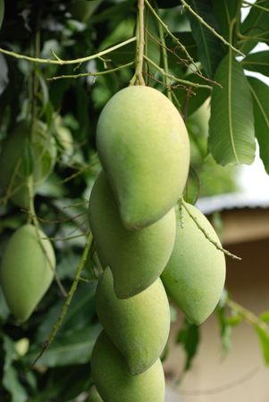 green mango: green mango and leafs