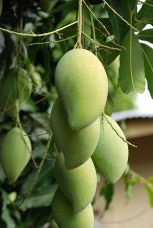 mango fruta: Verde y hojas de mango