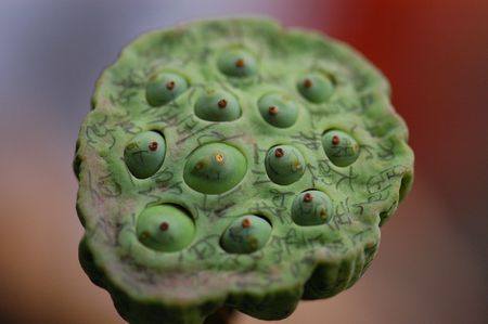 lotus seed: lotus seed and characters  Stock Photo