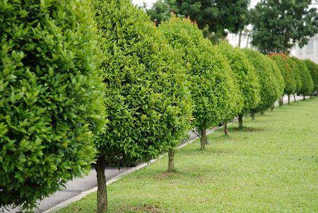 row of trees in the parks Stock Photo - 1117420