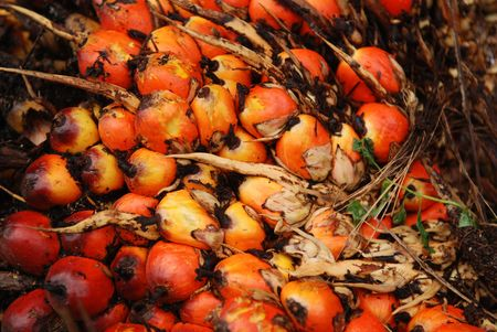 palm seeds in the farms