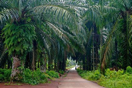palm plantation  Foto de archivo
