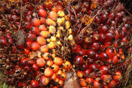 palm zaden in de landbouwbedrijven Stockfoto