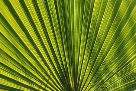 Oil Palm: green leaf in the gardens