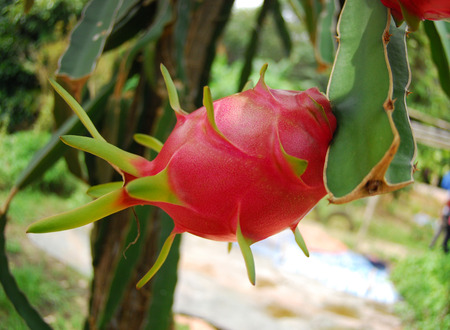 mango tree: red dragon fruit in the gardens Stock Photo