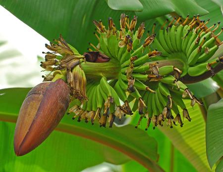 Bloemen bananen en bananen leafs binnen de tuinen  Stockfoto