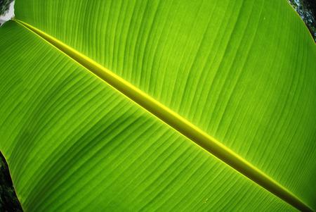 green banana leaf in the gardens