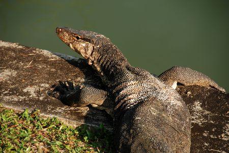 lizard in field: lagarto viejo depósito en el lado