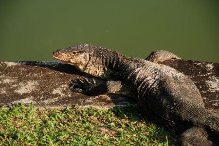 lizard in field: lagarto viejo dep�sito en el lado