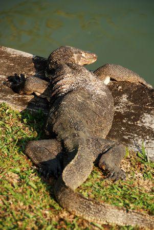 lizard in field: lagarto viejo en el depósito lateral