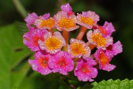 beautiful pink flowers and water droplet photo