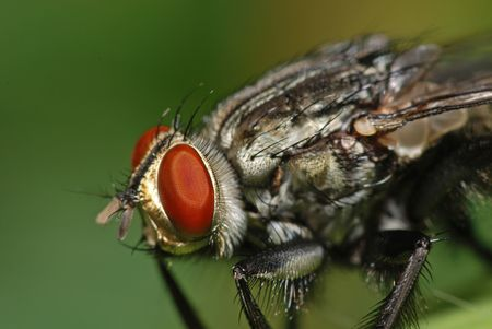 housefly: big housefly in the gardens Stock Photo