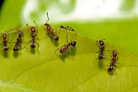 red ant: hormiga roja y verde hoja en los parques