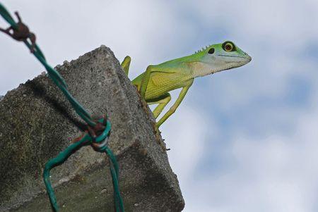 lizard in field: color verde lagarto en la valla Foto de archivo