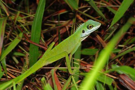lizard in field: lagartija de color verde en los arbustos