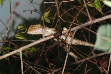 lizard in field: pequeño lagarto en los matorrales Foto de archivo