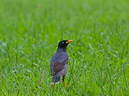 pigeon egg: myna looking for food in the open field