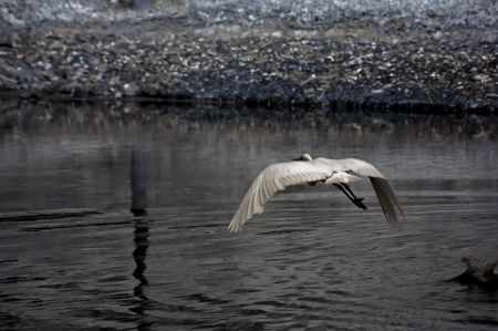 ir: Infrared photo � little egret flying in the parks