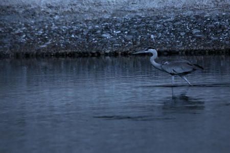 Infrared photo � little egret standing in the pond in the parks photo