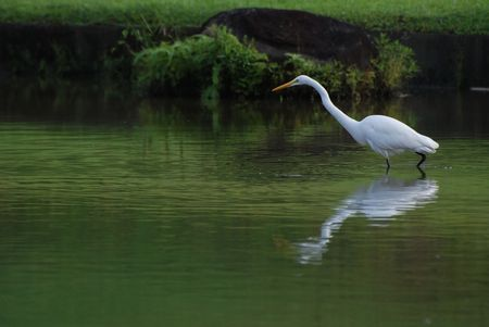 little egret in the pond looking for fish photo