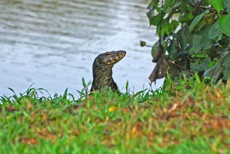lizard in field: lagarto de agua en el lago  Foto de archivo