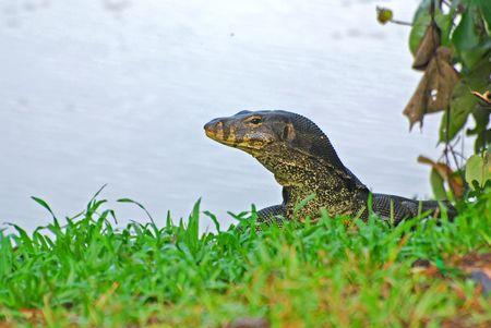 lizard in field: lagarto de agua a la orilla del lago