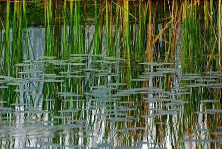 water plant and grass reflection in the ponds