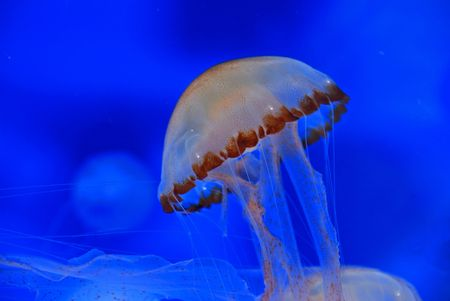 jelly fish: jelly fish inside the aquarium