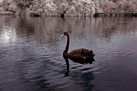 infrared photo - lake, swan and tree in the parks photo
