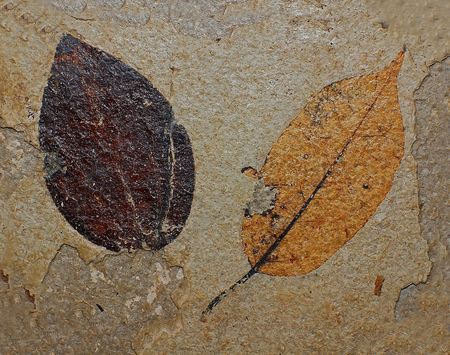 Ancient plant, fossil of tree leaf