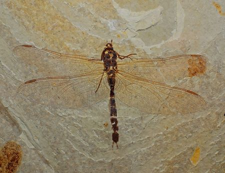 Ancient insect, fossil of dragonfly Stock Photo
