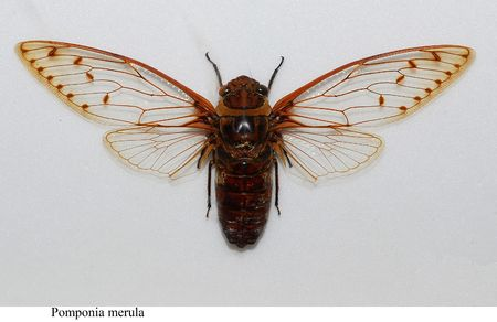 pomponia merula cicada specimen in the cabinets