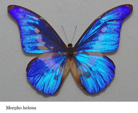 helena: morpho helena butterfly specimen in the cabinets Stock Photo