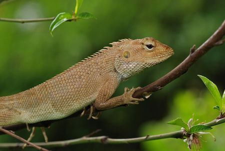 lizard in field: peque�as lagartijas en los jardines