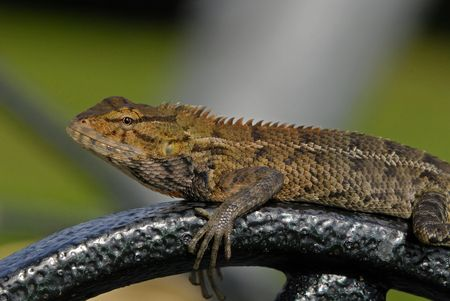 lizard in field: lagarto monitor en los parques Foto de archivo