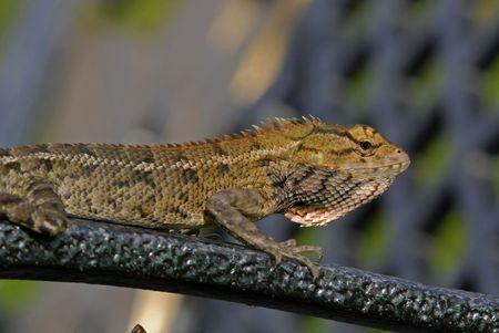 lizard in field: lagarto monitor en los parques Foto de archivo