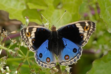 junonia orithya wallacei, blue pansy butterfly photo