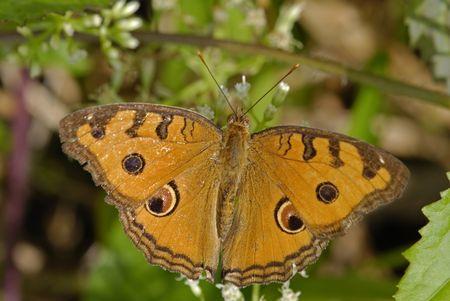 almanak: Junonia almanac javana, Pauw pansy vlinder