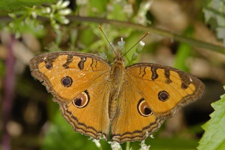 almanac: junonia almanac javana, peacock pansy butterfly Stock Photo