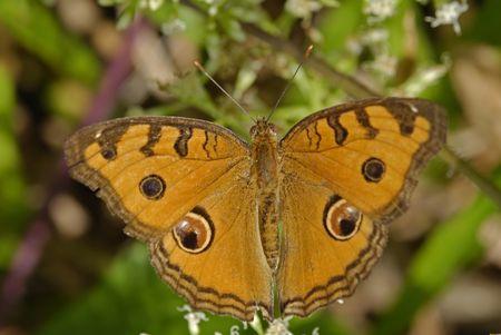 almanak: junonia almanak Javana, pauw homoseksualist vlinder