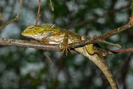 lizard in field: lagarto monitor en los arbustos Foto de archivo