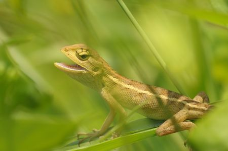 lizard in field: lagartija j�venes en los parques