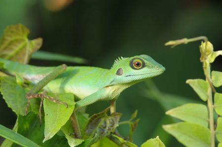 lizard in field: lagarto verde en los parques Foto de archivo