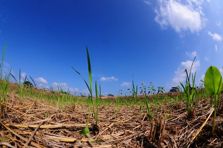 paddy field: paddy field in the farms