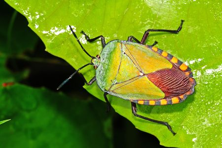 green shield bug: green shield bug in the parks Stock Photo
