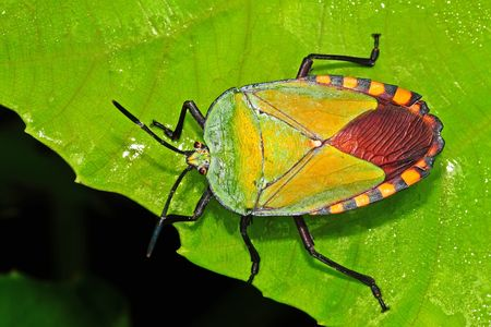 green shield bug in the parks Stock Photo
